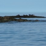 Foche sull'isola di Andoya