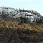 Cormorani sul loro guano - Isola degli Uccelli - Norvegia DSCF1806.JPG