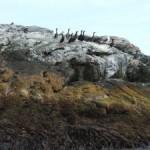 Cormorani sul loro guano – Isola degli Uccelli – Norvegia DSCF1806.JPG